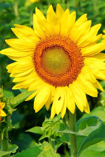 傲然挺立的向日葵鲜花图片
