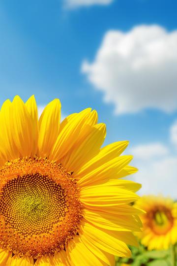 高傲的向日葵鲜花图片