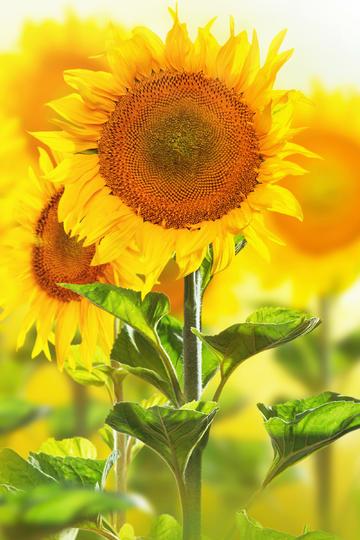 不卑不亢的向日葵鲜花图片