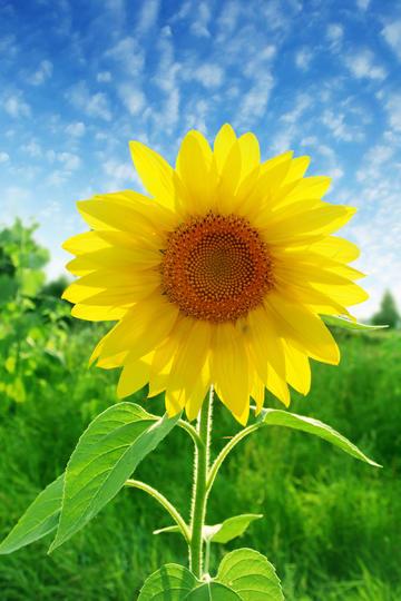 蓝天下一朵漂亮的向日葵鲜花图片