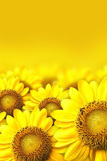 盛夏季节的向日葵鲜花图片
