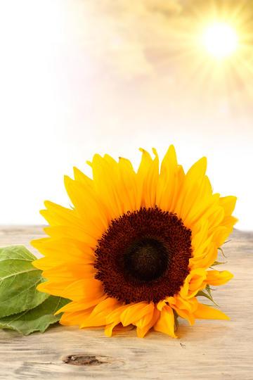 阳光下一朵漂亮的向日葵鲜花图片
