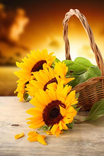 美丽向日葵的图片大全