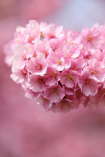 唯美樱花图片