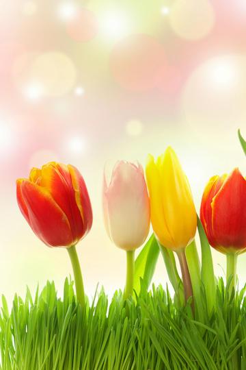 芳香四宜的郁金香鲜花图片