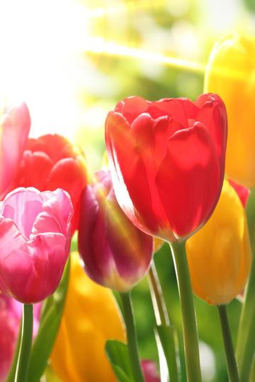 阳光照射下的郁金香鲜花图片