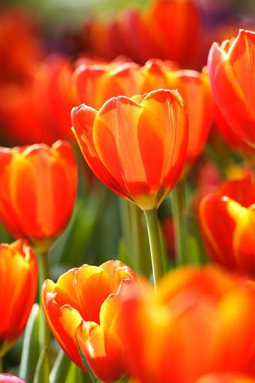 香远益清的红色郁金香鲜花图片
