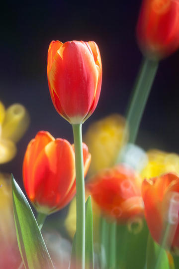 唯美郁金香图片