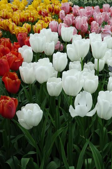 各种颜色的花海郁金香鲜花图片