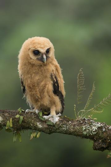 野生的猫头鹰图片