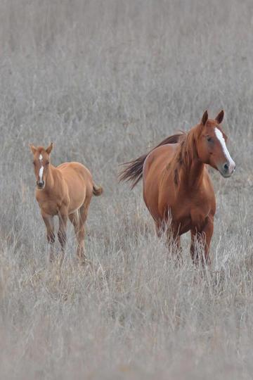 枯草地两头小马图片